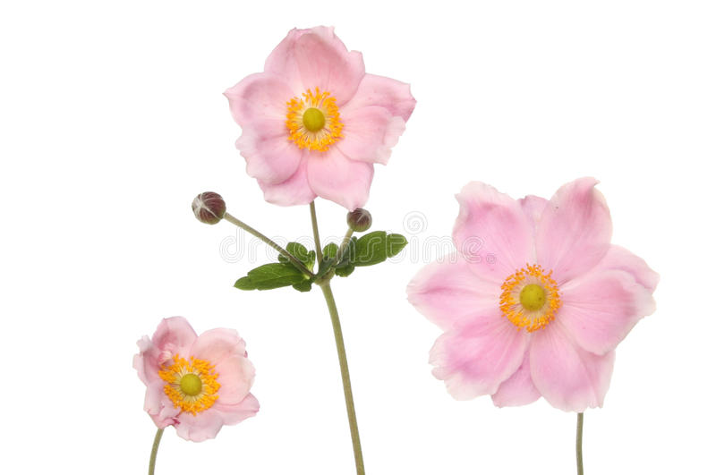 Three anemone flowers. Three pastel pink anemone flowers isolated against white stock photos