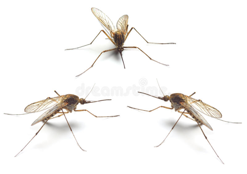 Three Anopheles mosquitos. Anopheles mosquitos - dangerous vehicle of infection - isolated on white background royalty free stock photos