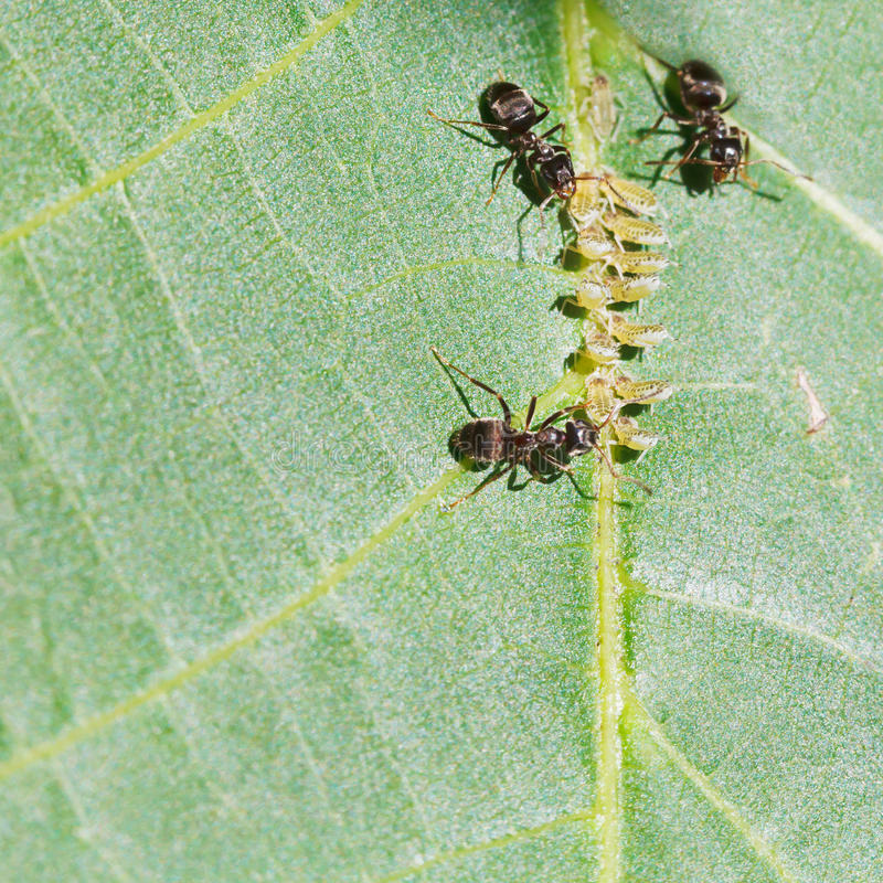 Three ants tending aphids group on leaf royalty free stock photo