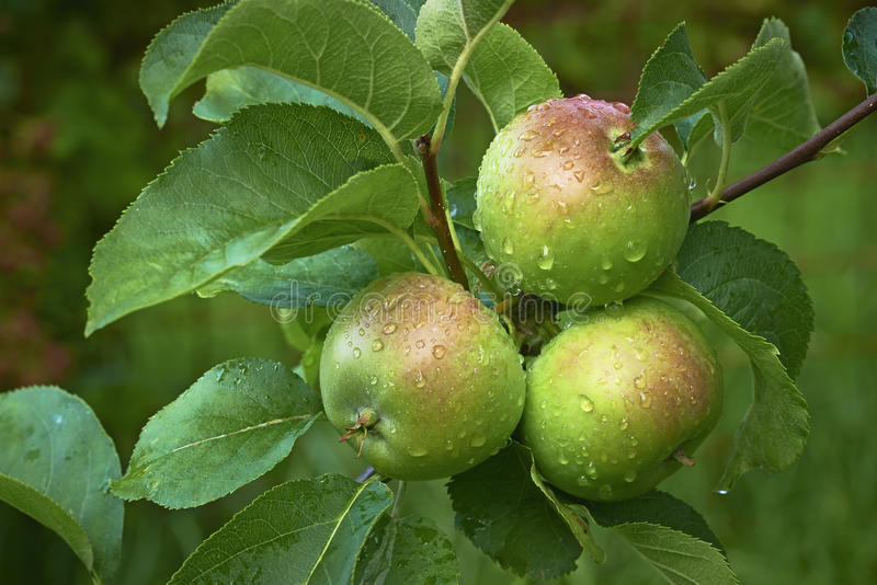 Three apples on branches stock image