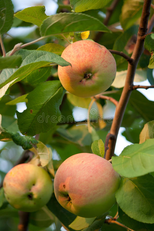 Three apples on a tree stock images