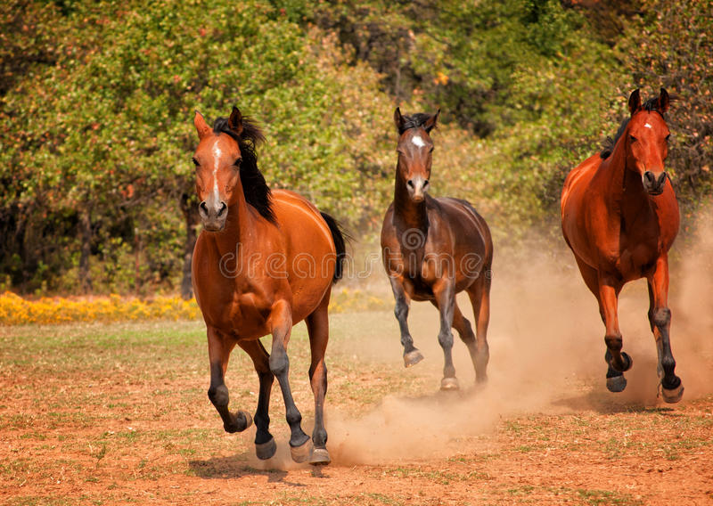 Three Arabian horses racing in the pasture stock images