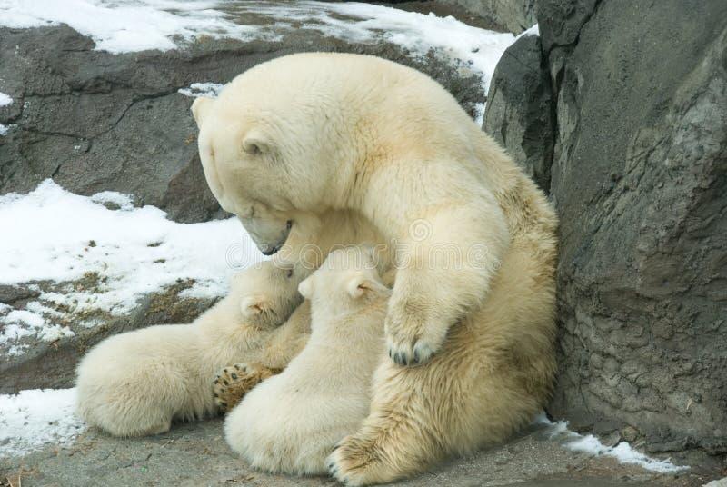 Three arctic bear stock image