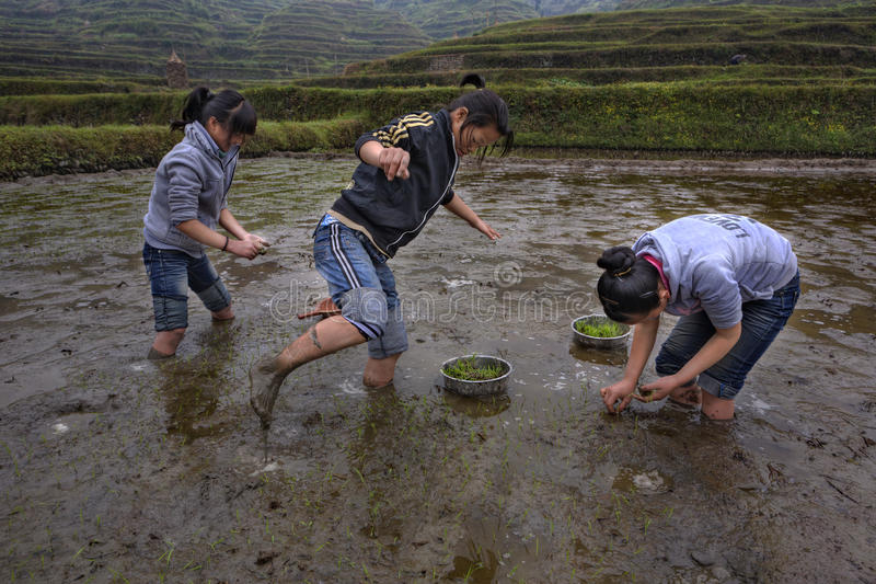 Three Asian teen girl busy planting rice in paddy field. Xijiang miao village, Guizhou Province, China - april 18, 2010: Chinese schoolgirl working on flooded royalty free stock photos