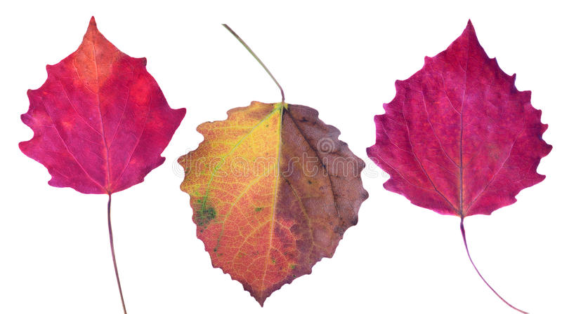 Three aspen fall leaves isolated on white royalty free stock image