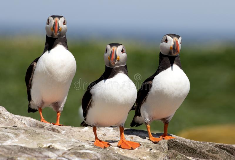 Three puffins standing on a rock. Three atlantic puffins standing in alert on a rock on the Farne Islands royalty free stock photos