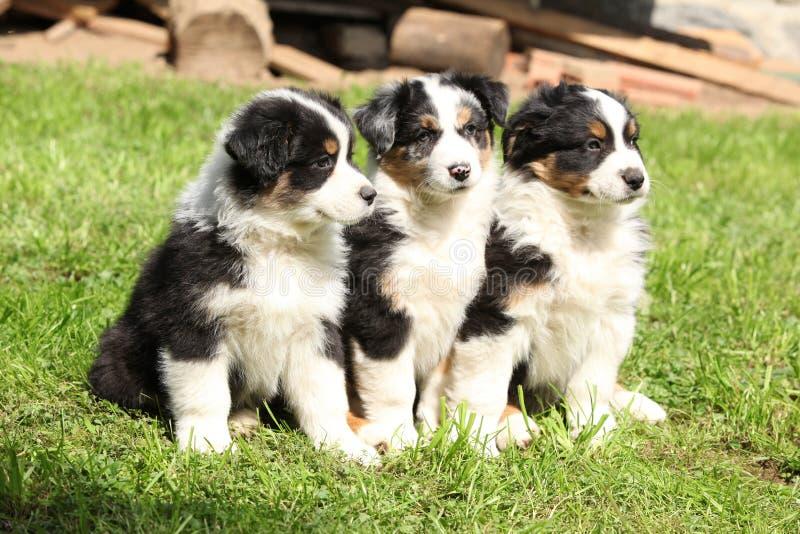 Three australian shepherd puppies sitting together stock image
