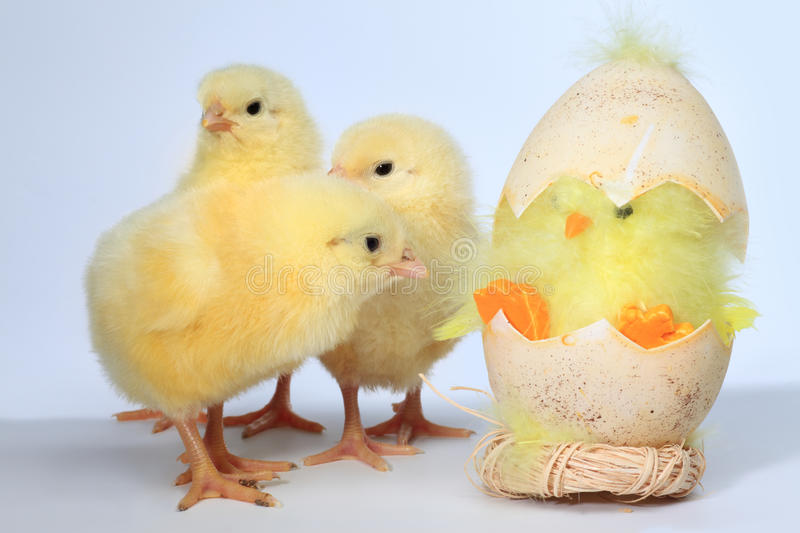 Three baby chick stock photos