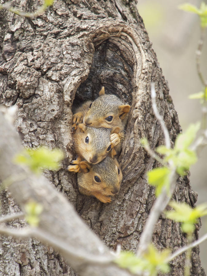Free Three Baby Fox Squirrels Royalty Free Stock Photo - 19251385