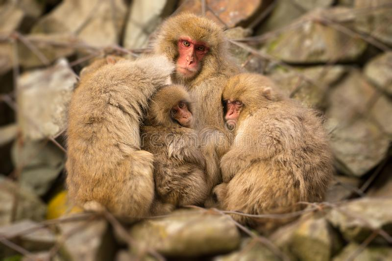 Three Baby Japanese Macaques holded by their mother in Jigokudani. Japan stock image