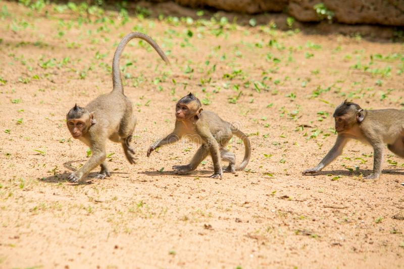Three baby macaque monkeys playing and chasing each other on a patch of soil stock photos