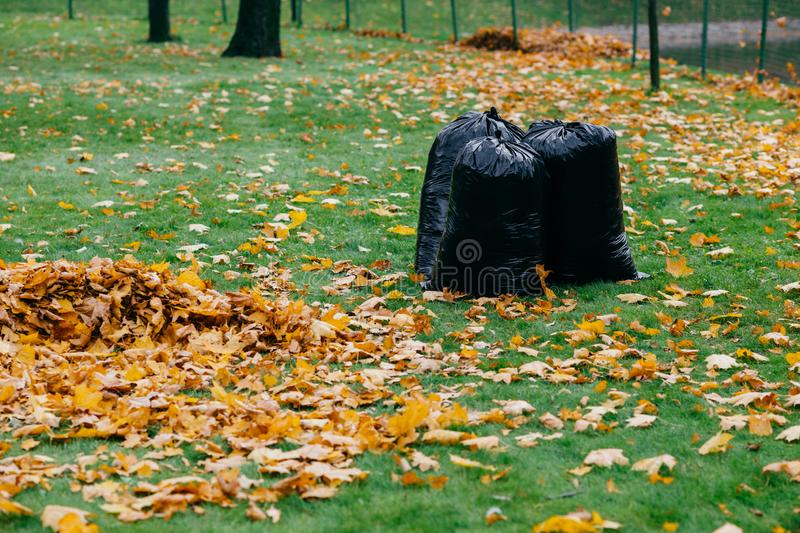 Three bags filled with bags on green ground, yellow foliage on grass. Cleaning and recycling concept. Sacks with leaves. royalty free stock photo