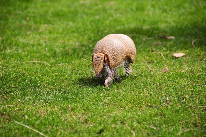 Three banded armadillo stock photography