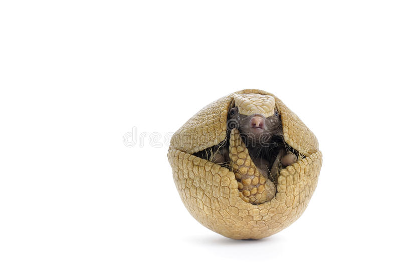 Three Banded Armadillo stock photos