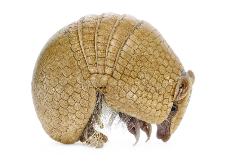 Three Banded Armadillo royalty free stock photos