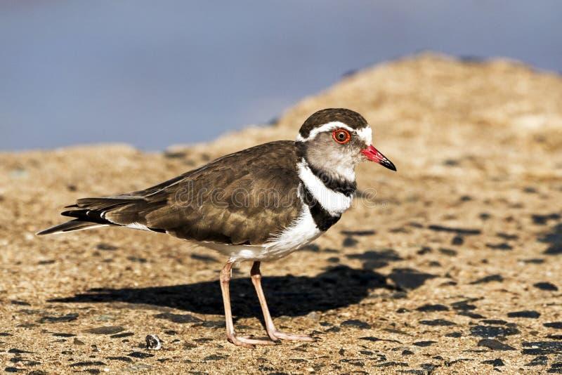 Three Banded Plover Bird Standing on Concrete Bridge royalty free stock image