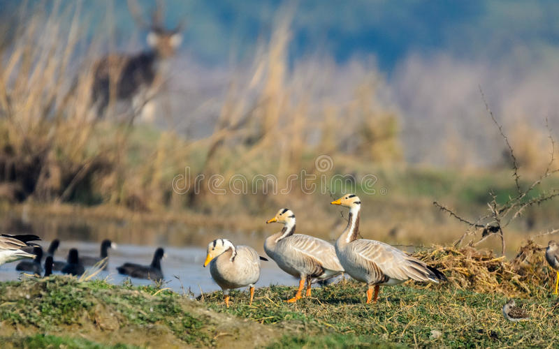 Three Bar headed Geese with beautiful pose stock image