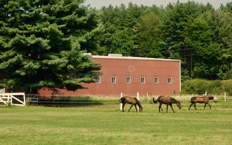 Three bay horses walking in a line outdoors in front of thick trees royalty free stock photography