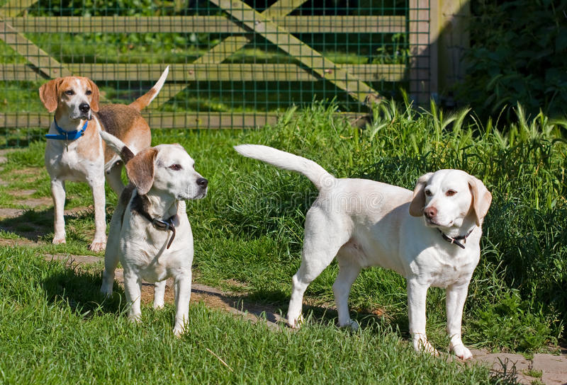 Three Beagle dogs royalty free stock photography