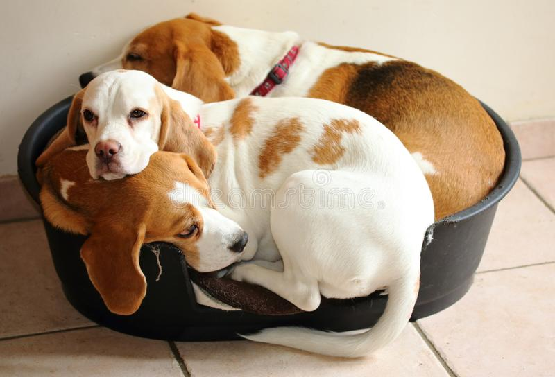 Three Beagles in a basket stock images