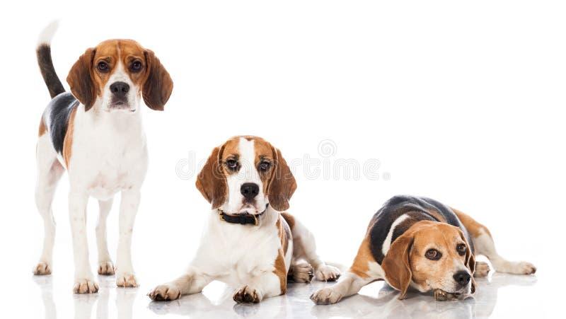 Three beagles royalty free stock photo
