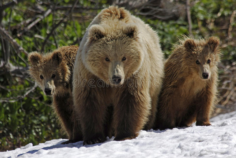 Three bears. In Kamchatka (Russia royalty free stock image