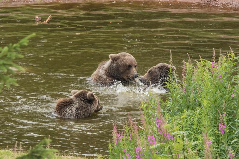 Three bears involved in a philosophic discussion. While bathing and splashing in a pond royalty free stock photography