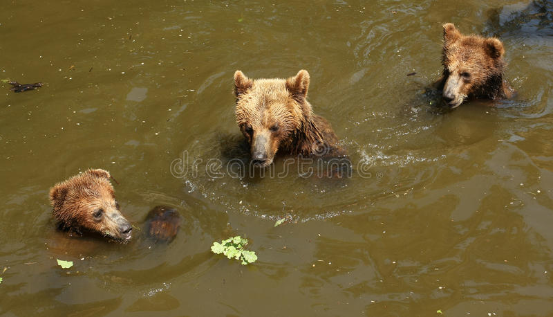 Three bears playing in water royalty free stock photo