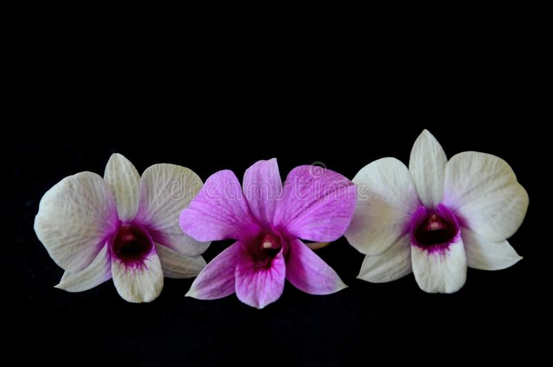 Three beauiful flower orchid flowers. Three beauiful violet and white flower of orchid on black background royalty free stock images