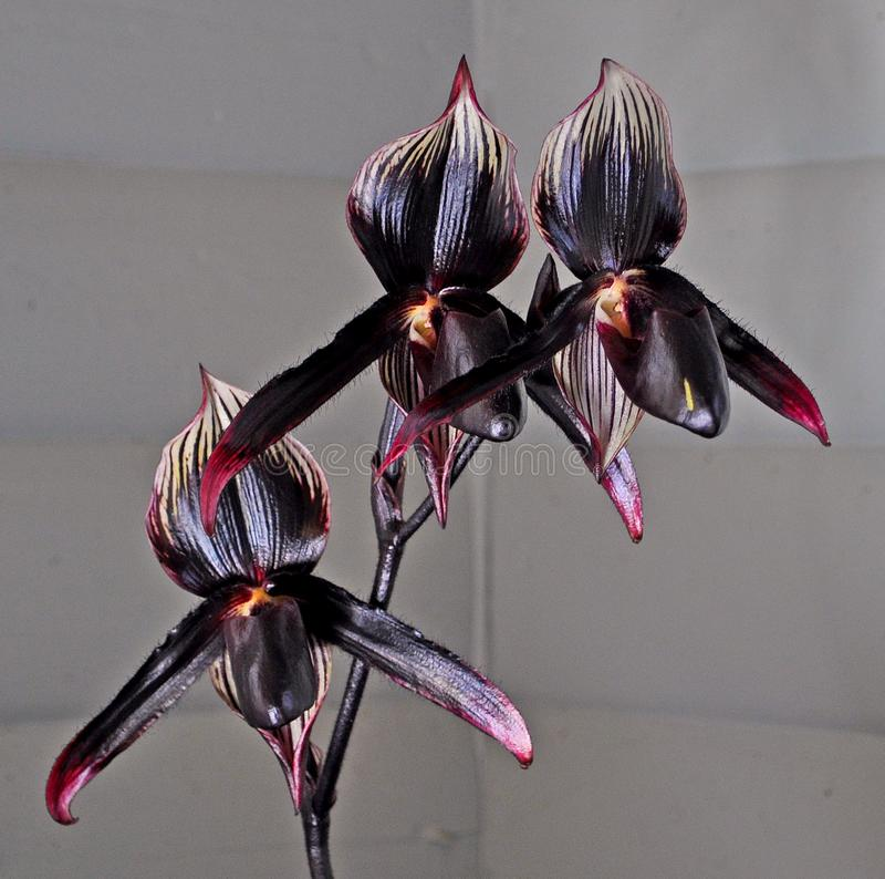"""Black orchid"" Three beautiful blue violet orchids of Paphiopedilum stock photography"
