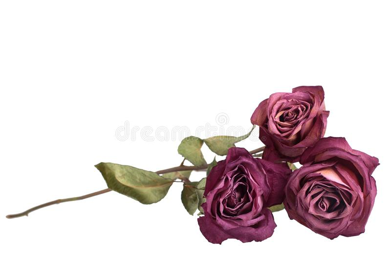 Three beautiful burgundy roses flowers with long stem and green leaves on white background isolated closeup royalty free stock image