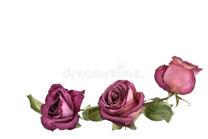 Three beautiful burgundy roses flowers with long stem and green leaves on white background isolated closeup stock photos