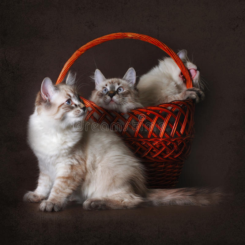 Three beautiful cat breed Neva masquerade is played with a basket on a brown background. A group of cute kittens stock photography