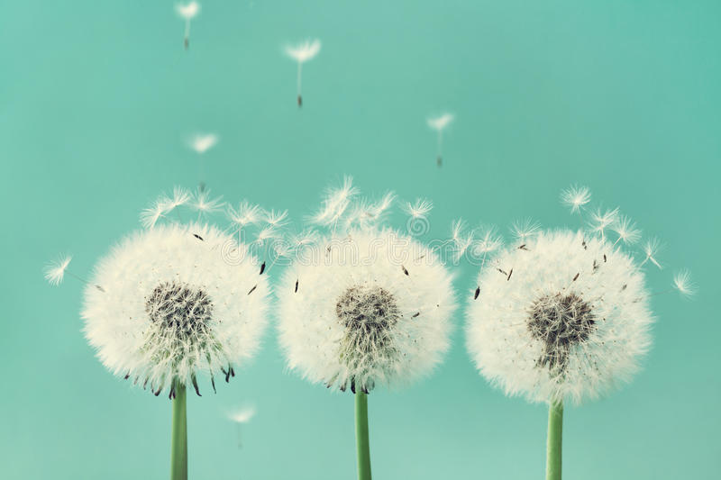Three beautiful dandelion flowers with flying feathers on turquoise background. Three beautiful dandelion flowers with flying feathers on turquoise background royalty free stock photos