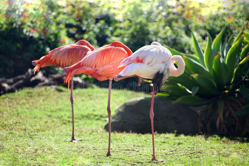 Three beautiful flamingos, two pink flamingos and one white flamingo stand in row together on one leg on green grass royalty free stock photos