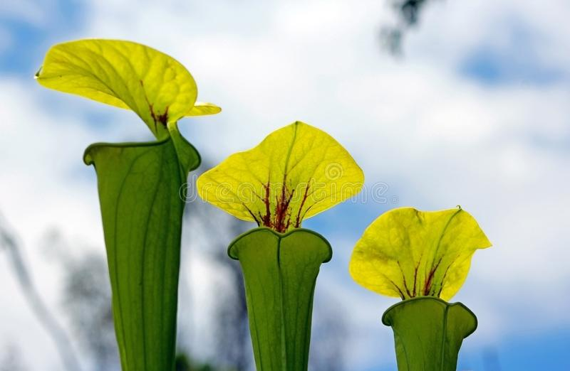 Tropical Pitcher Plant under the sky stock image