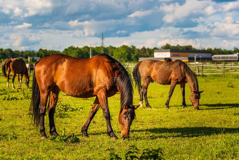 Three Beautiful horses grazing in lush green sunlit pasture outdoors summer royalty free stock photos