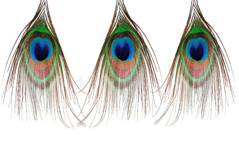 Three beautiful peacock feather royalty free stock photo