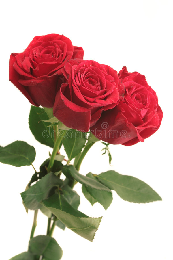 Three beautiful red roses stock photo