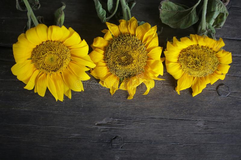 Three beautiful sunflowers decoration on rustic wooden table background arrangement. Classic board with yellow flowers frame. Background. Copy space for text royalty free stock photos