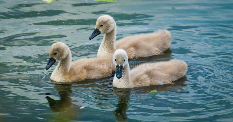 Beautiful Swan cygnets royalty free stock photos