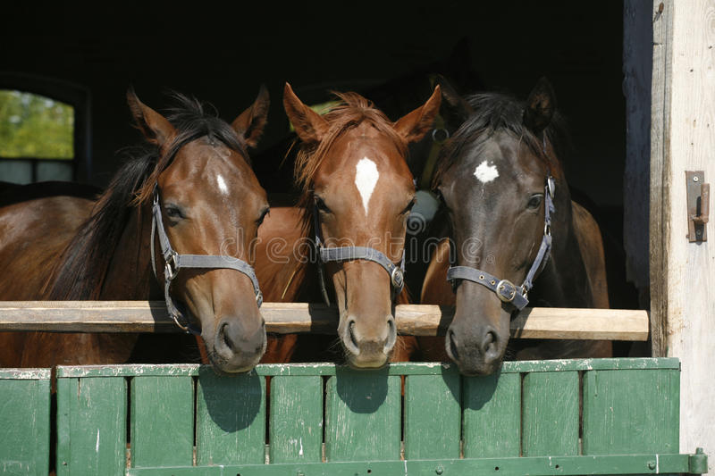 Three beautiful thoroughbred horses looking over the barn door royalty free stock images