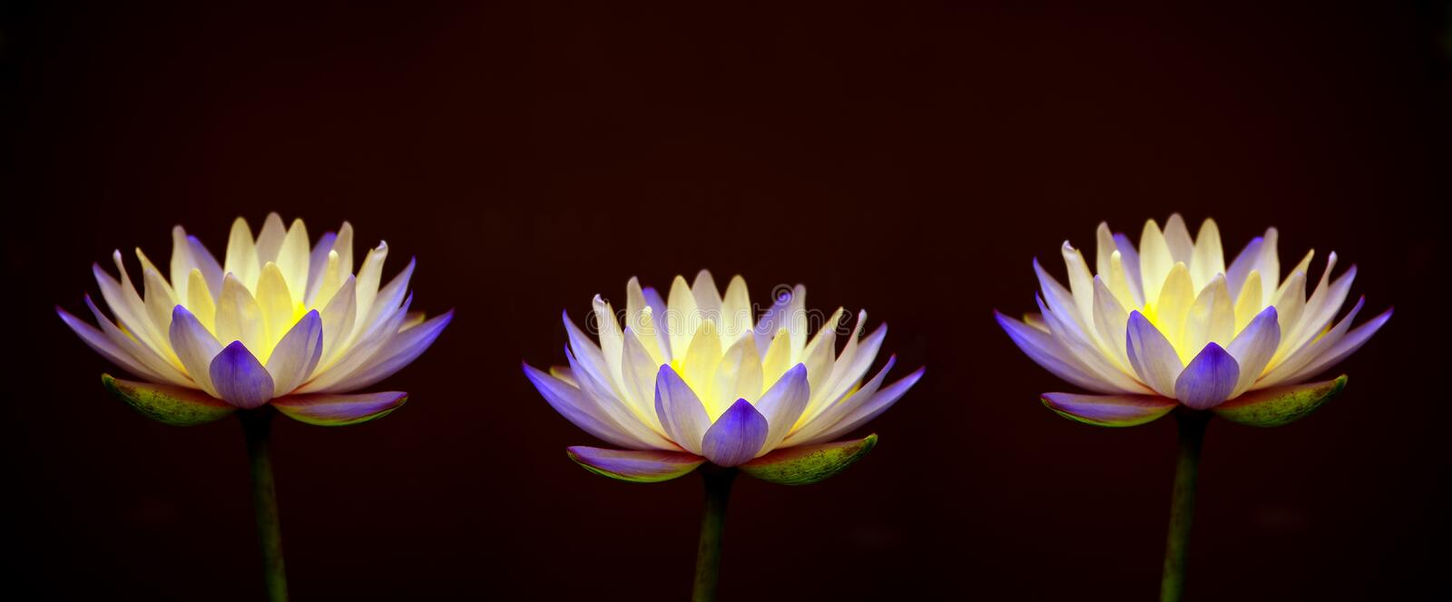 Pair of beautiful purple water lilies stock photo