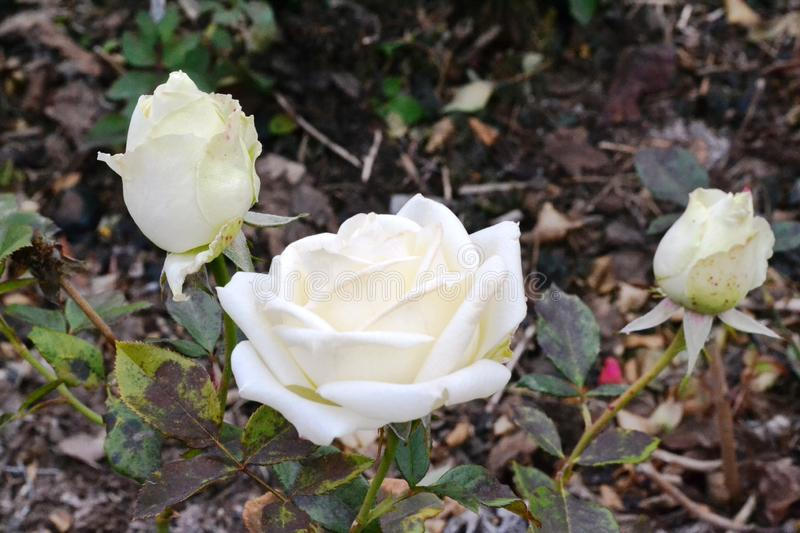 These are three beautiful white roses with green leaves. royalty free stock photography