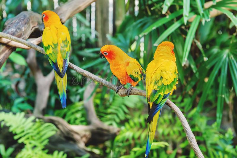 Three beautiful yellow-green wavy parrots are sitting on a branch in a tropical forest stock images