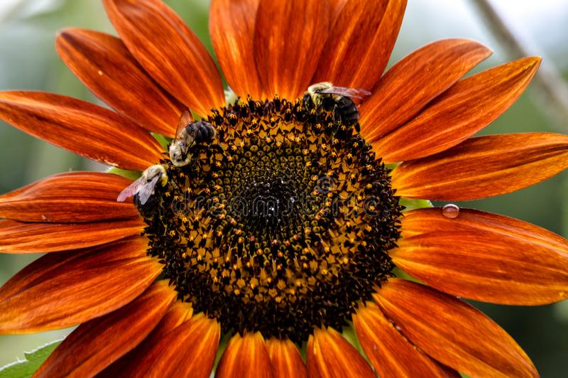 Bumble bees on a colorful red sunflower royalty free stock photography