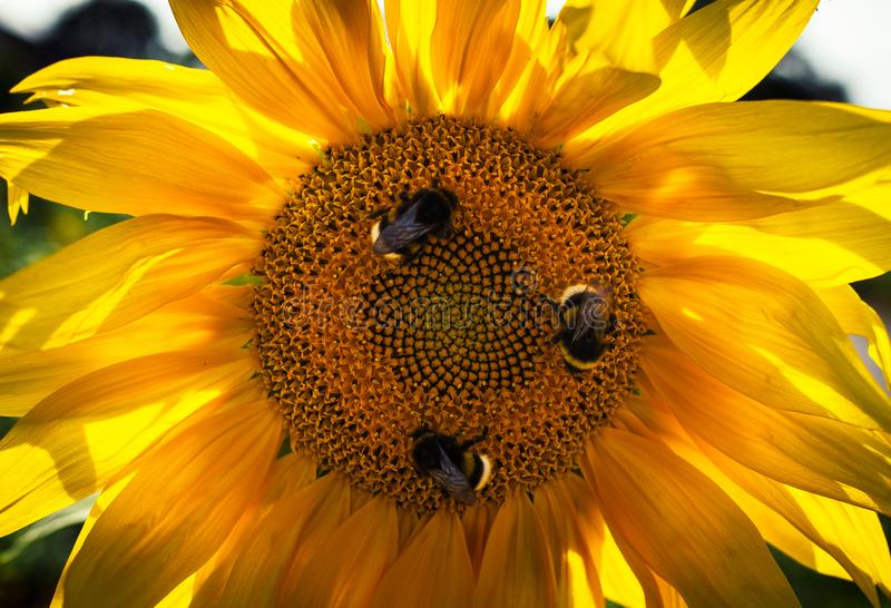 Three bees on the sunflower collecting pollen stock images