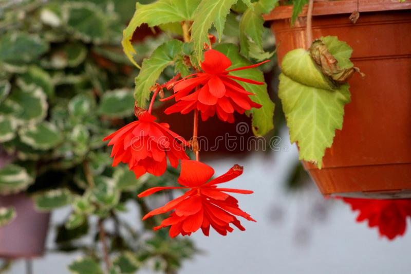 Three Begonia Pendula fully open blooming bright red flowers surrounded with green leaves hanging from flower pot with other. Plants and grey wall in background royalty free stock photos