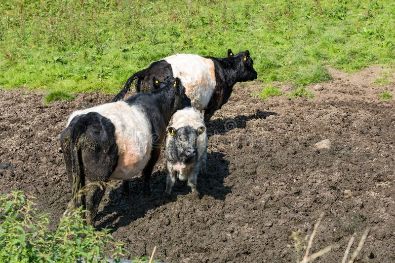 Three belted galloway cows. Two black and white belted galloway cows with a grey and white calf standing in mud near a grass field in England, UK royalty free stock photos