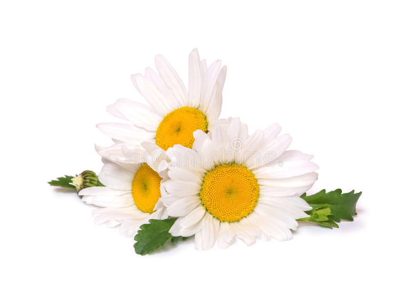 Three big daisies camomile isolated on white background. Group of spring flowers. Three big daisies camomile isolated on white background. Group of spring stock photos